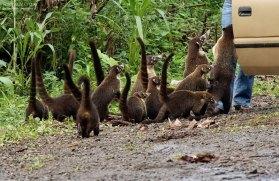 Обнаглевшие мамаши-носухи выпрашивают еду на обочине дороги. Делают это весьма виртуозно.