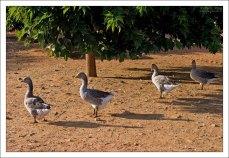Откормленные гуси на ферме.