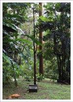 Баобаб, только маленький :) Заповедник Flower Forest.