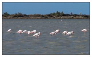 В Камарге расположено одно из самых больших европейских поселений розовых фламинго.