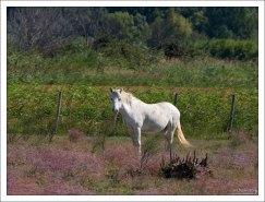 Лошади камаргу ведут полудикое существование. Camargue Nature Park.