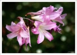 Лилия Беладонна или Naked Lady (Amaryllis belladonna). Quinta da Regaleira.