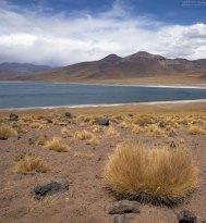 Компактные кустики на берегу лагуны Miscanti.