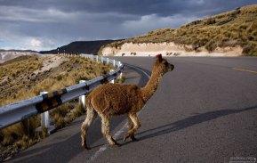 Молодая лама, пересекающая дорогу.