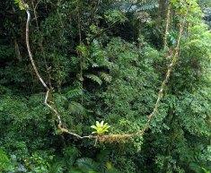 Бромелия-эпифит (Bromeliaceae) примостилась на качелях в джунглях.