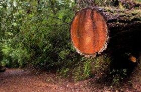 На тропе Tall trees trail. Redwood National Park.