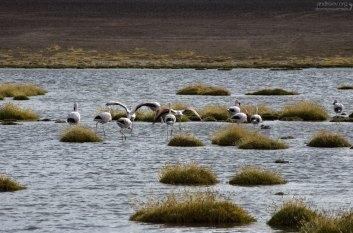 Пугливые Андские фламинго. На пути к El Tatio.