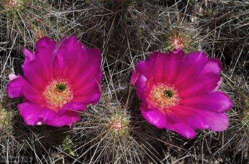 Бутоны-близнецы. Кактус вида Strawberry Pitaya.
