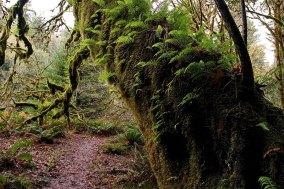 Мох и папоротники отлично приспособились на стволе клена. Redwood National Park.