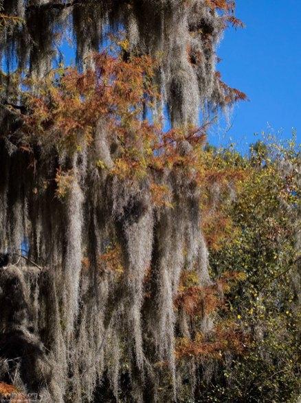 Испанский мох, опутавший кипарис. Этот мох не паразит, а лишайник, добывающий себе пропитание самостоятельно, из воздуха и воды.