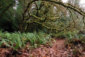 Деревья причудливых форм вдоль тропы Tall Trees. Redwood National Park.