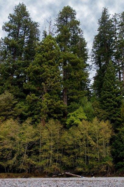 В нижней части фотографии деревья обычного размера и крошечная фигурка человека, за ними - redwoods. Redwood National Park.