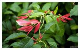 Молочай красивейший, или пуансеттия (лат. Euphorbia pulcherrima).