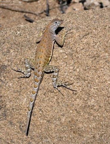 Очень распространенная на юге США ящерица вида Canyon Lizard.