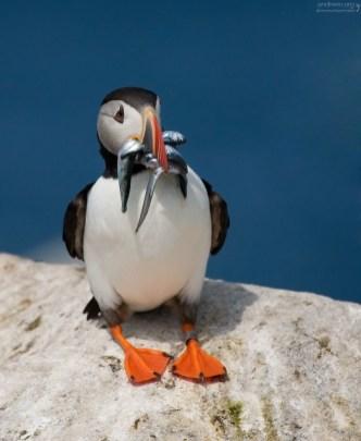 Загнутые назад зубчики в клюве помогают удерживать уже пойманную рыбу во время ловли.