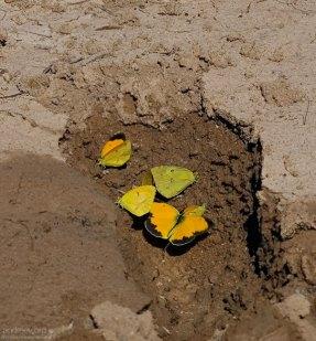 Бабочки собирают капельки воды в отпечатке следа.