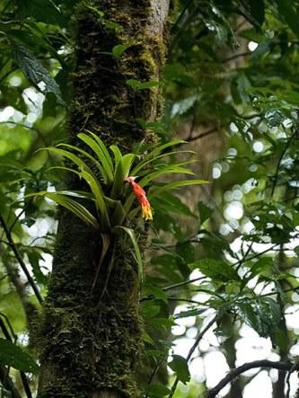 Бромелия-эпифит пристроилась на коре одного из деревьев.