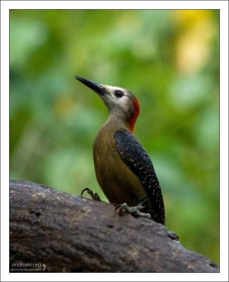 Ямайский дятел - эндемик острова. Jamaican Woodpecker (Melanerpes radiolatus). Rocklands Bird Sanctuary.