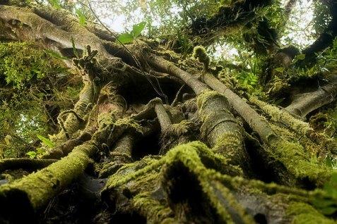 Дерево Фига-душитель (Strangler Fig), напавшее на очередную жертву.