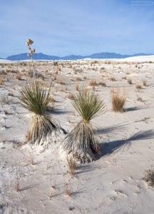 Юкки - довольно распространенное растение для здешних мест.
