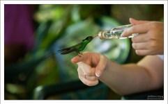 Колибри пьет сладкий нектар из бутылочки. Заповедник Rocklands Bird Sanctuary.