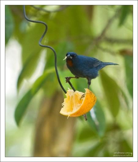 Апельсиновый тиарис - Orangequit (Euneornis campestris) - еще один эндемик.