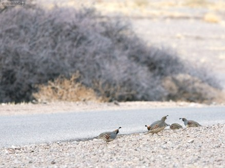 Группа Gambel's Quails (Перепел Гэмбла) на обочине дороги.