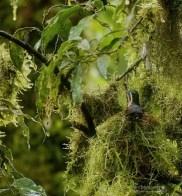 Довольно редкое зрелище - колибри в гнезде.