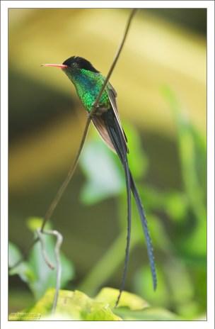 Вымпелохвостый колибри (Trochilus polytmus) - эндемик острова, известный среди местных как Doctor bird.