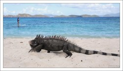 Игуана обыкновенная прогуливается по Сапфирному пляжу.