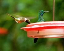 Любопытный колибри.