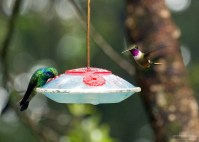 Green Violet-ear и Purple-Throated Woodstar на кормушке со сладким нектаром.