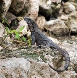Самка игуаны греется на камнях Эцны.