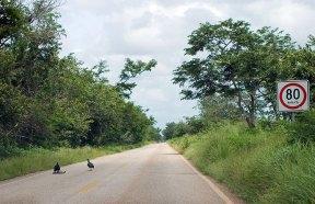 Ограничение скорости на сельской дороге, и грифы с добычей.