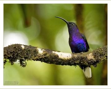 """""""Франт в Фиолетовом Фраке"""" Violet Sabrewing (Фиолетовый Саблекрыл; Campylopterus hemileucurus) - один из самых больших видов колибри."""