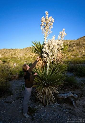 Мелким человечкам не дотянуться даже до цветков не самых больших юкк. Близко не подойти, мешают острые листья.