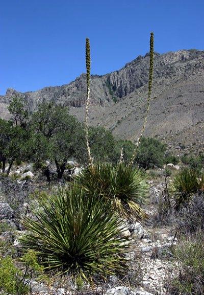 Soaptree Yucca - типичное растение для этой области. Guadalupe Mountains National Park.