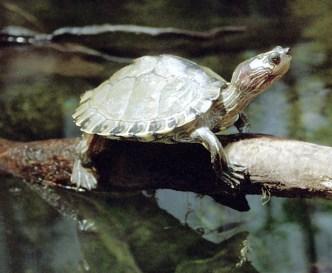 Вольер с пресноводными черепахами в Теннесийском аквариуме - крупнейшем на территории США.