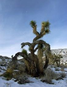 Растение Joshua tree - американский эндемик.