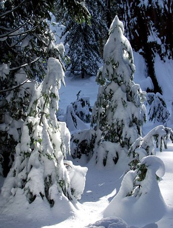 Ёлки под снежным одеялом.