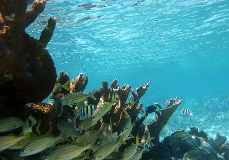 Группа ронок (Grunts) разворачивается вокруг коралла. Hol Chan marine reserve.