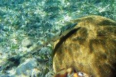 Хищная рыба-барракуда. Coral Gardens.