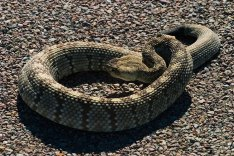 Чернохвостая гремучая змея греется на асфальте.
