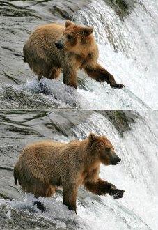 Медведица на вершине водопада.