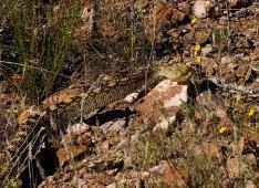 Удирающая через кусты чернохвостая гремучка (Blacktail Rattlesnake).