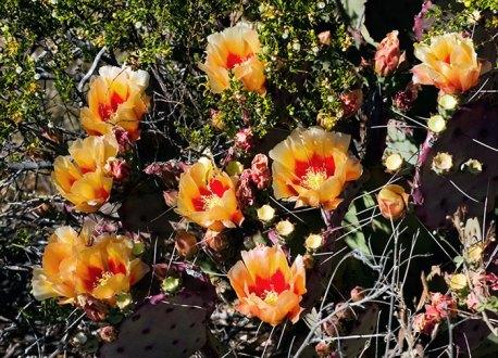 Двухцветные бутоны грушевидного кактуса.