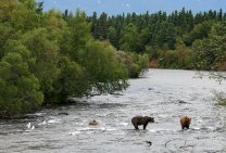Медведи в реке Brooks river, высматривающие лосось.