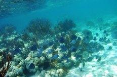 Группа спино-рогих (Triggerfish) плывет по своим делам Hol Chan marine reserve.
