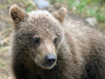 Медвежий малыш.