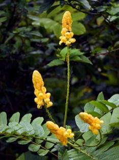 Ярко-желтые цветы александрийского листа (Candlestick Senna).